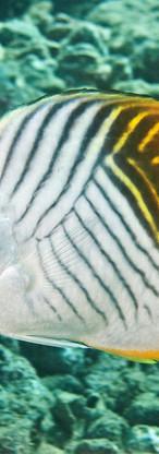 Threadfin Butterflyfish.jpg
