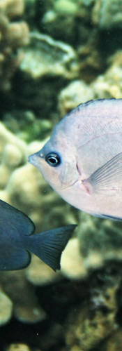 Thompson's Butterflyfish.JPG
