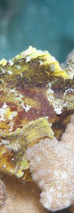 Yellow Leaf Scorpionfish.jpg
