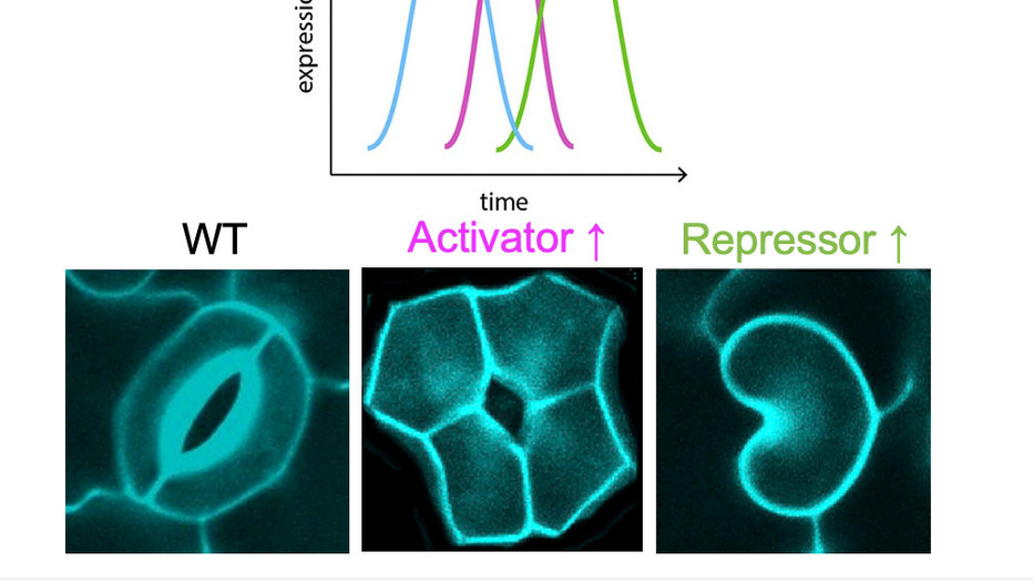Han, S.K. and *Torii, K.U. (2019) Linking cell cycle to stomatal differentiation. Curr Opin Plant Biol 51: 66-73.
