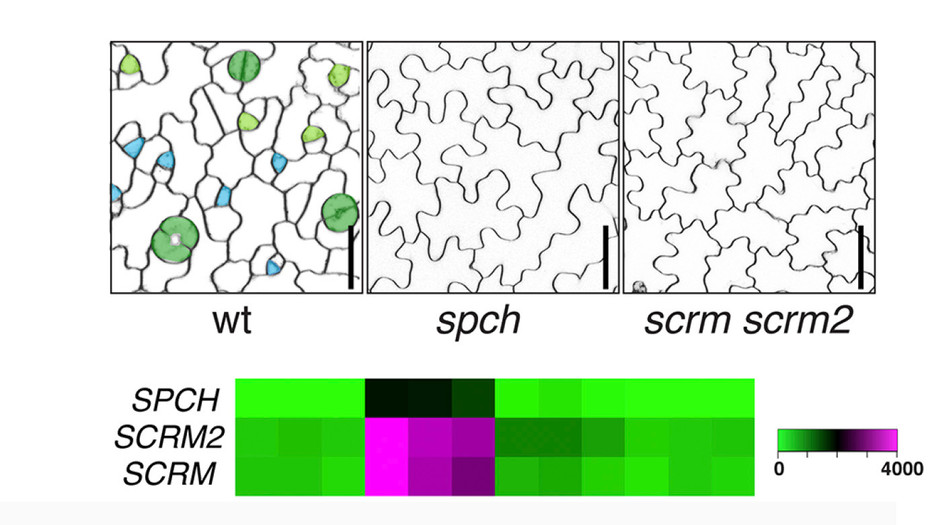 Horst, R.J., Fujita, H., Lee, J.S., Rychel, A.L., Garrick, J. M., Kawaguchi, M., Peterson, K.M., and *Torii, K.U. (2015) Molecular framework of a regulatory circuit initiating two-dimensional spatial patterning of stomatal lineage. PLOS Genetics: e1005374
