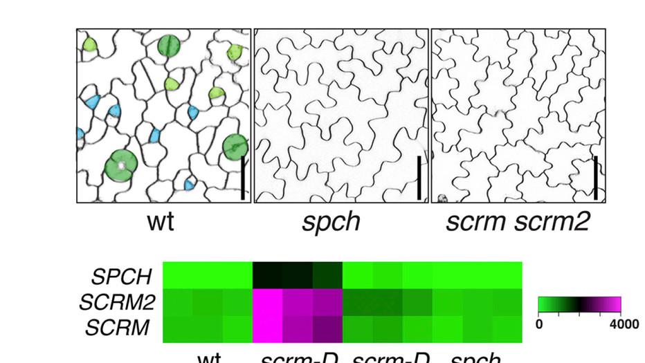 Horst, R.J., Fujita, H., Lee, J.S., Rychel, A.L., Garrick, J. M., Kawaguchi, M., Peterson, K.M., and *Torii, K.U. (2015) Molecular framework of a regulatory circuit initiating two-dimensional spatial patterning of stomatal lineage. PLOS Genetics: e1005374