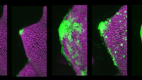 Tameshige, T., Okamoto, S., Lee, J.S., Aida, M., Tasaka, M., *Torii, K.U.  and *Uchida, N. (2016) A Secreted Peptide and its Receptors Specifying the Auxin Response Pattern during Leaf Margin Morphogenesis. Current Biology 26: 2478-2485