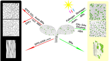 Qi, X., and *Torii, K.U. (2018) Hormonal and environmental signals guiding stomatal development. BMC Biology 16: e21