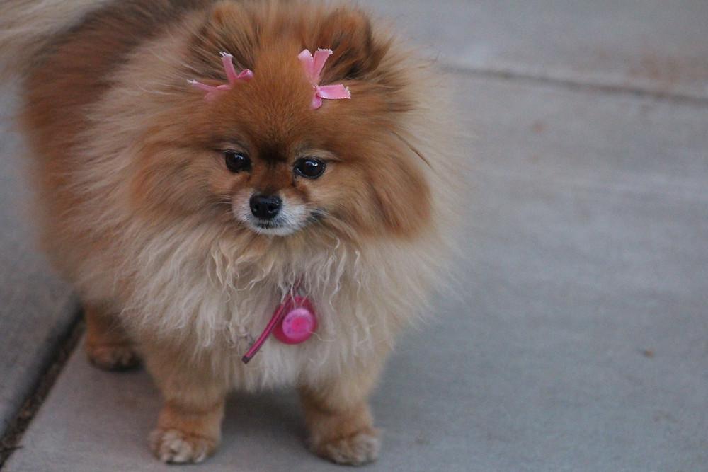 Daisy the teacup Pomeranian