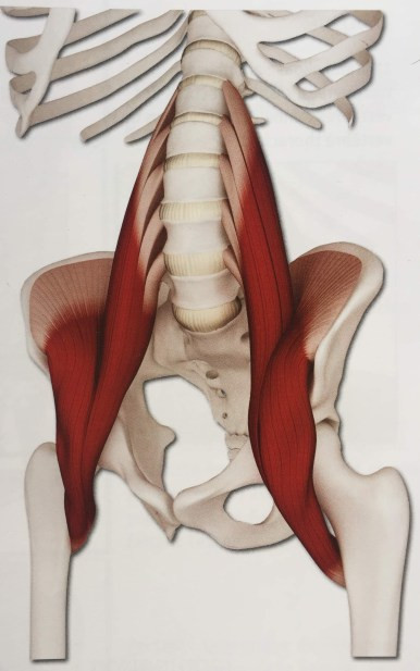 Ilio-psoas, muscles