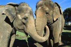 asian-elephants-comfort-01_76709_990x742.jpg