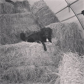 My hay or the highway lol #barnlife #dog