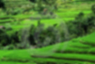 Beautiful rice fields in Sidemen
