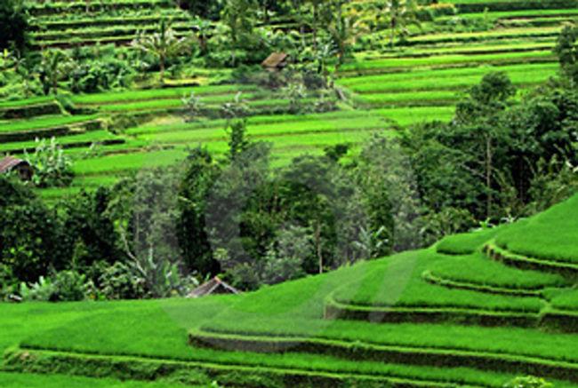 Beautiful rice fields in Sidemen