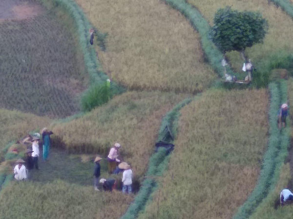 Farmers working in the rice fields