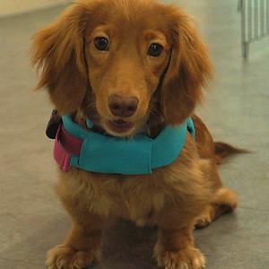 Rover, the miniature dachshund