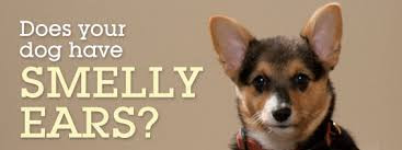 Does your dog have smelly ears?
