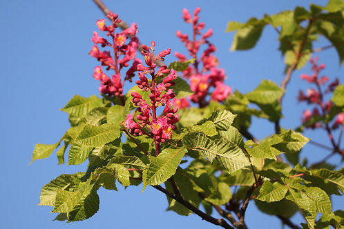 Bach-Blüten Mischung 4: Lernbereitschaft