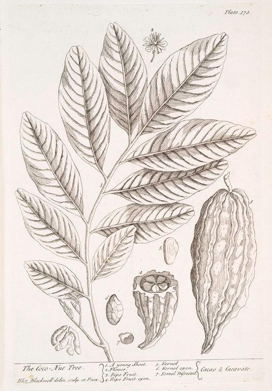 The Coco-Nut Tree, 1739