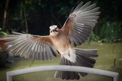 Jaiopenwings