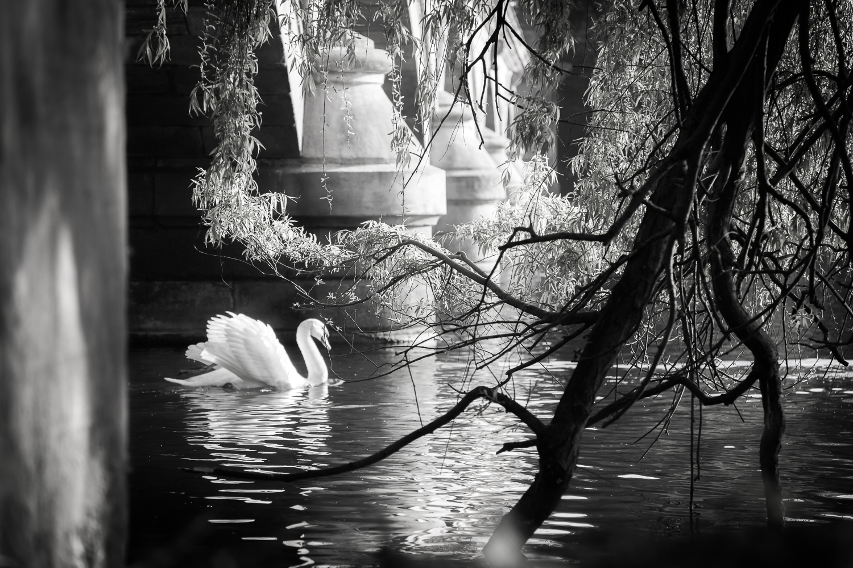 Classic Swan
