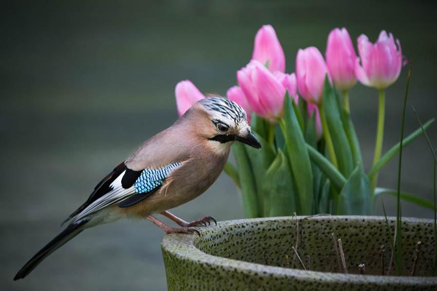 Jay_tulips