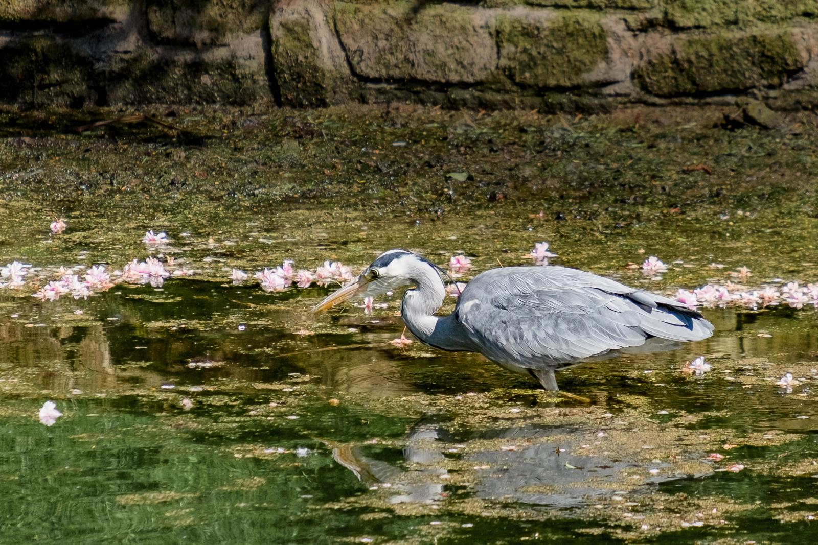 Heron in Sefton_no watermark