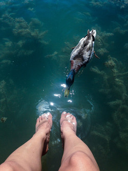 Curuious duck