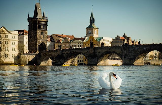Charles Bridge and a swan in  Vlatava River in Prague. What a beautiful sight of such a pretty city