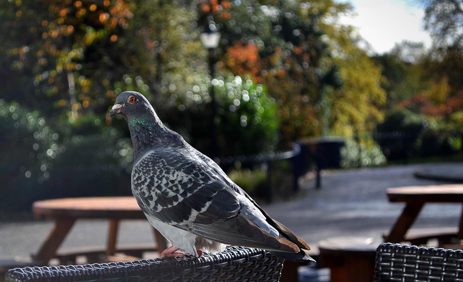 Pigeon_waiting_breakfast