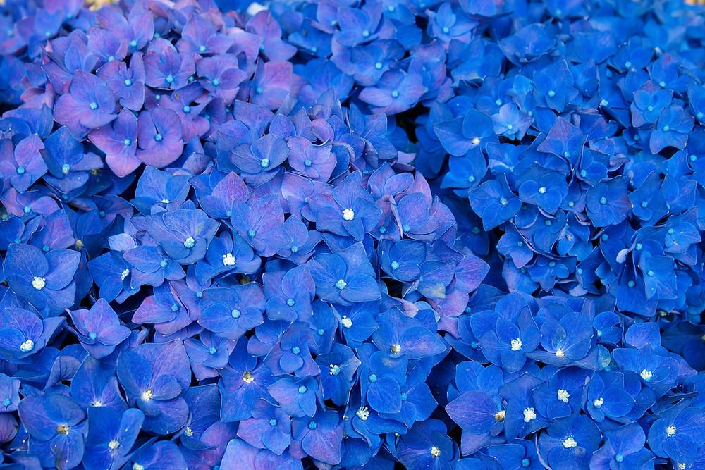 紫陽花【辛抱強い愛情】