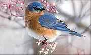 Winter BB on branch.jpg
