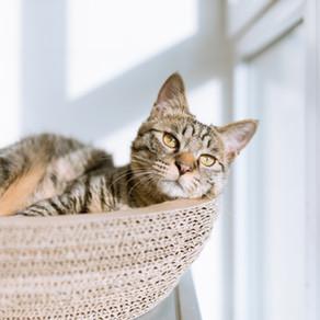 שפעת עונתית, לא רק לבני אדם כל מה שאתם חייבים לדעת על שפעת החתולים