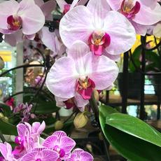 Orchidées Fuschia
