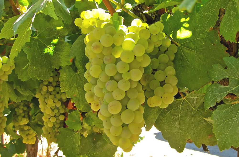 A uva Aligoté (Foto: reprodução /internet)