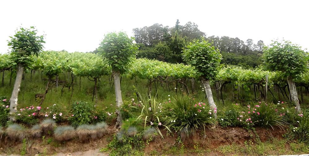A família Vaccaro possui 11 hectares de vinhedos em produção (Foto: Marcelo Vargas)