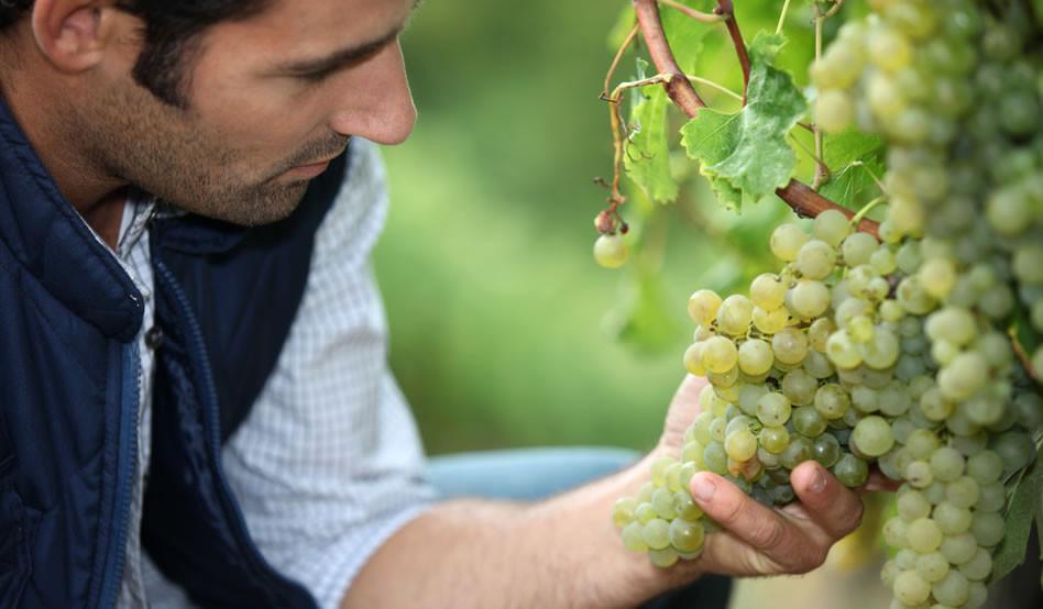 Enólogo é o profissional de elaboração dos vinhos