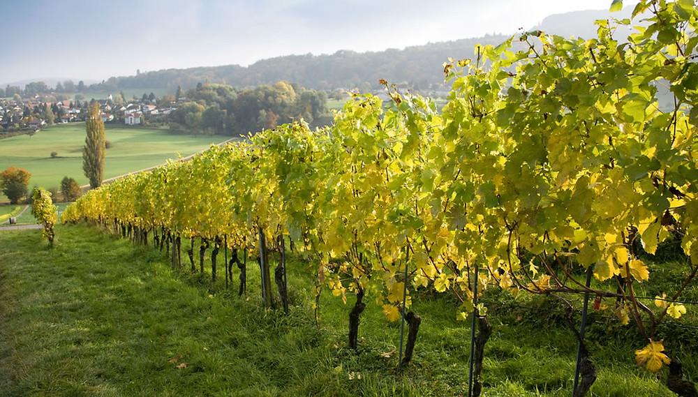 Os Vinhos Verdes são produzidos exclusivamente em Portugal