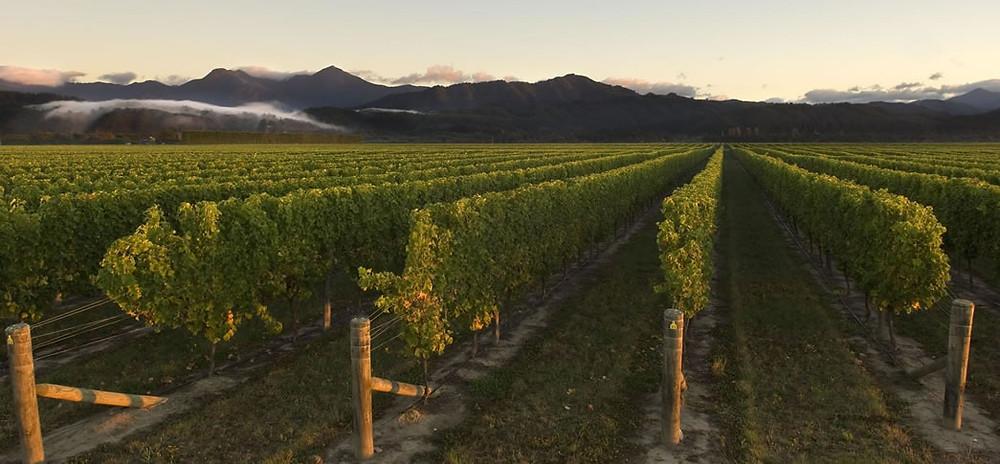 Os vinhedos na Nova Zelândia