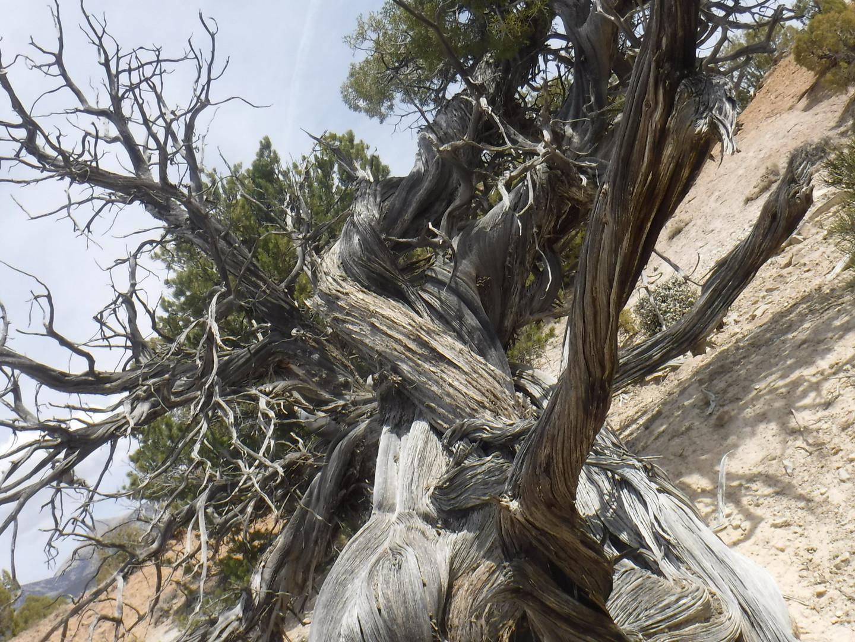 Juniper Tree (2).jpg
