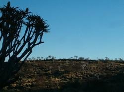 4 Kokerboom woud
