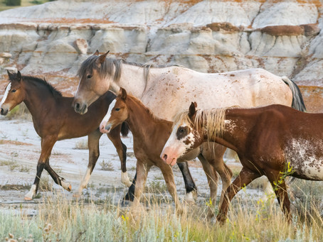 Wild Mustangs of Theodore Roosevelt National Park