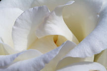 rose-4279205_1920.jpg