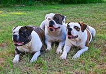 american-bulldogs_edited.jpg