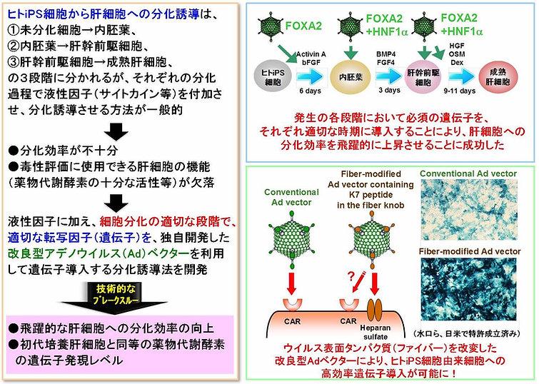 図2. 遺伝子導入技術を利用したヒトiPS細胞から肝細胞への高効率分化誘導