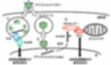 図6. アデノウイルスベクターによる自然免疫活性化メカニズムの仮説