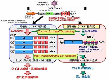 図10. miRNAによる遺伝子発現制御機構を搭載した制限増殖型アデノウイルス