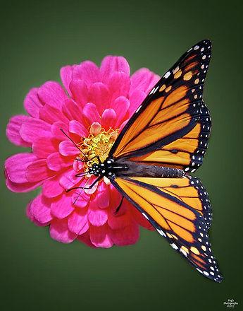 monarch-butterfly-on-pink-flower.jpg