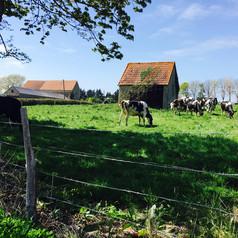 Norman cows
