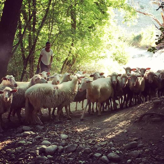 Sardinian Milk Sheep
