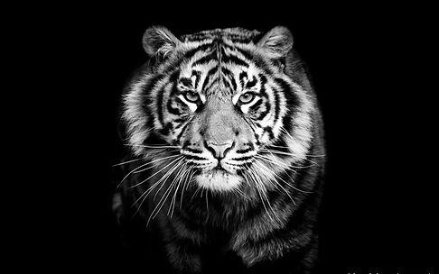 fond-d-cran-hd-gratuit-tigre-blanc-fond-