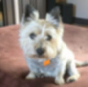 Cairn%20Breed%20Page_edited.jpg