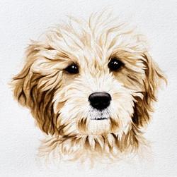 Harvey, a mini Golden doodle.
