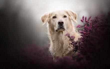 golden-retriever-dog-pets-big-dog-labrad